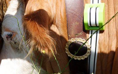 Internet de las cosas para salvar a la ganadería extensiva